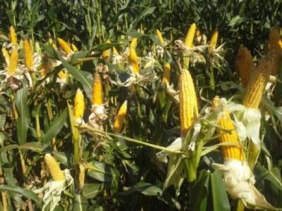 Ochrona kukurydzy przed chorobami grzybowymi a jakość ziarna