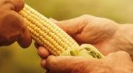 Podsumowanie sezonu uprawy kukurydzy na ziarno w roku 2020
