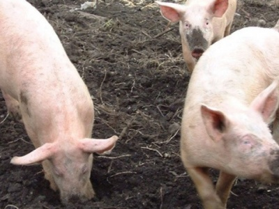 Jakie wsparcie gospodarstw utrzymujących świnie?