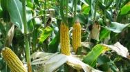 Odmiany kukurydzy w doświadczeniach porejestrowych