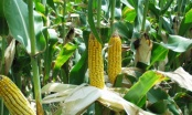 Kiedy Dni Kukurydzy?