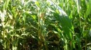 Przechowywanie ziarna kukurydzy