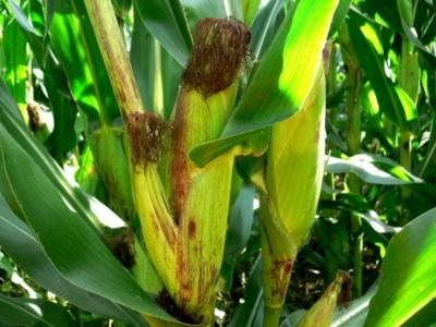 Nowe odmiany  kukurydzy