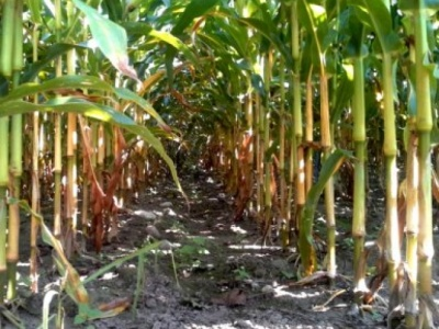Herbicydy do stosowania w kukurydzy
